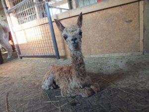 Alpaca Farm Open House